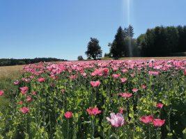 Mohnblumenfeld QF rosa duftelei aromapraxis energetik weiz